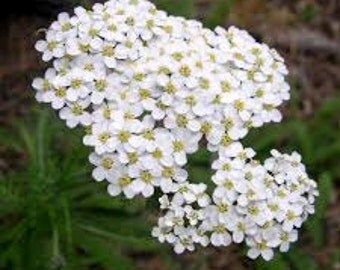 White Yarrow Seeds, Achillea Millefolium, Herb, Perennial Plant, Medicinal Herb, Flower Essence Plant, Lacy Foliage
