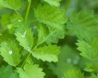 Salad Burnet Seeds, Herb Plant, Sanguisorba minor, Perennial, Salad Green, Flavoring