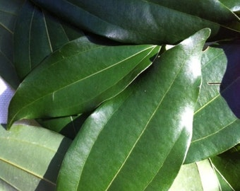 Fresh Organic Cinnamon Leaves