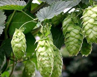 Hops Plant Humulus Lupulus - 50 Seeds - The Brewing beer plant!