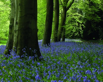 Bluebells Greeting Cards Pack of 5