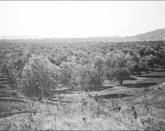 24x36 Poster; An Olive Grove, Los Angeles, Ca.1900 (-5356)