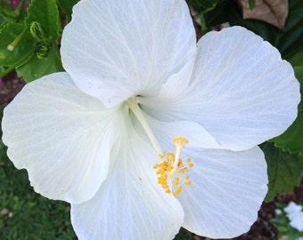 Bermuda Wedding White Hibiscus
