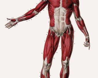 ML24 Vintage 1800's Medical Human Full Body Muscles Anatomy Poster Re-Print Wall Decor A2/A3/A4