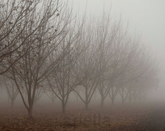 PECAN TREES IN the fog no 0021 color photography pecan Photography  Nature Photography unique gift home decor