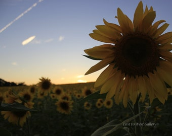 Sunflower Fields Forever East to West Gallery