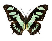 "Real Victorina stelenes ""Malachite"" Butterfly, spread for your project or laminated or unmounted"