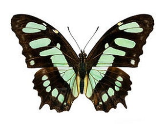 """Real Victorina stelenes """"Malachite"""" Butterfly, spread for your project or laminated or unmounted"""