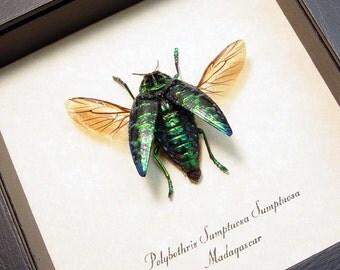 Real Framed Polybothris Sumptuosa Metallic Green Madagascar Beetle 6336G