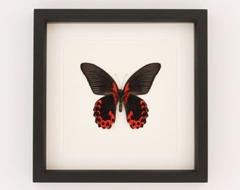 Real Butterfly Art Display Papilio rumanzovia Framed Insect