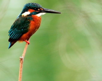 Alcedo atthis - Excotic common kingfisher colorful natural Male kingfisher colorful photography gift idea for birder summer orange green