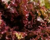 Red Salad Bowl Lettuce Seeds