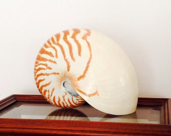 "Beach Decor - Natural Nautilus Shell - Choose 4""-5"" or 5""-6"""