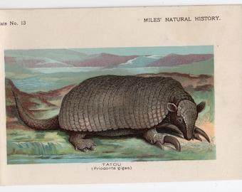 1895 tatou or Giant Armadillo print original antique animal lithograph print