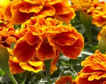 French Marigold Seeds - Untreated and Non-GMO