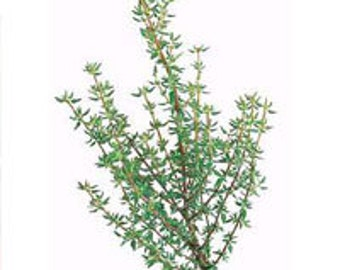 French Thyme Seeds - Untreated and Non-GMO