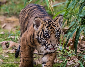 Nature Art, Sumatran Tiger  Cub at Play, Fine Art Photography, Nature Photography, Animal Art, Nursery Decor Nursery Art
