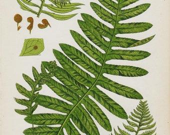 Antique print, 1850 Antique FERN print, chromolithograph of common polypody. Original antique botanical print
