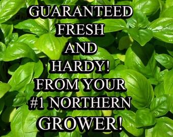 Basil Genovese-Organic Heirloom Herb Seed