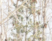 Winter Photography Fine Art Archival Print - Winter cones soft branches of evergreen tree and birch.  Nature wall art home office decor.
