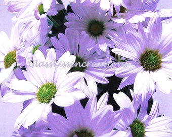 Violet Daisies - Fine art Photography Print 8 x 10""