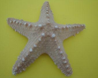 "5.3"" Specimen Starfish. Philippines."
