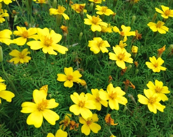 Edible Marigold Organic Heirloom Lemon Gem Seeds