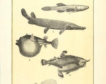 """Digital Download """"Bass, Bat Fish, Balloon Fish"""" Illustration (c.1900s) - Instant Download of Fish Illustrated Book Page"""