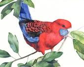 Crimson Rosella Print CR001 of watercolor painting wall art print 5 by 7 smallest print- bird art print wall art print - art print