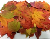 Pressed Autumn Leaves, 50 Autumn Leaves, Dried Leaves, Real Leaves. Table Decoration, Flower Girl Toss,  Crafts,