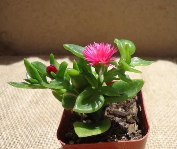 Baby Sunrose Succulent-Aptenia Cordifolia.