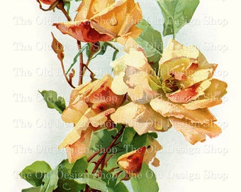 Yellow Peach Roses by Catherine Klein Vintage Flowers Digital Download JPG Image