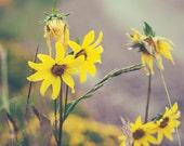Golden Wildflower Photograph - dewy mustard yellow mountain  wildflower, olive green, gray, rustic,autumn flower, moody art, fpoe
