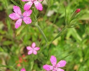 Deptford Pink - Native Wildflower