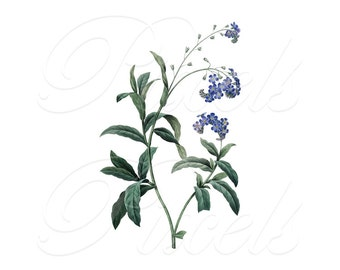 FORGET-ME-NOT Instant Download, Digital Image botanical illustration wedding spring Redoute 065