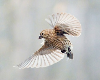 Bird photography:  House Finch (Haemorhous mexicanus ) The Art of Staying Aloft No. 4
