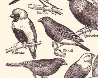 Antique French Print Dictionary Page 1920s Illustration Songbirds Small bird engravings