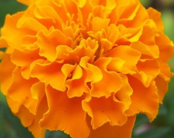 Heirloom Marigold Orange Hawaii, Easy to Grow, Excellent for Containers, 20 Seeds