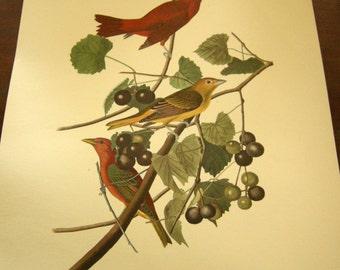 1950's Unframed Audubon, Havell, Sumer Red Bird Print