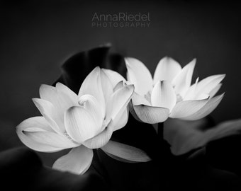 Lotus Flowers Black and White Photograph - Fine Art Nature Photography Print - Modern Zen Wall Art 8x10, 8x12, 10x15, 11x14, 16x20, 20x30