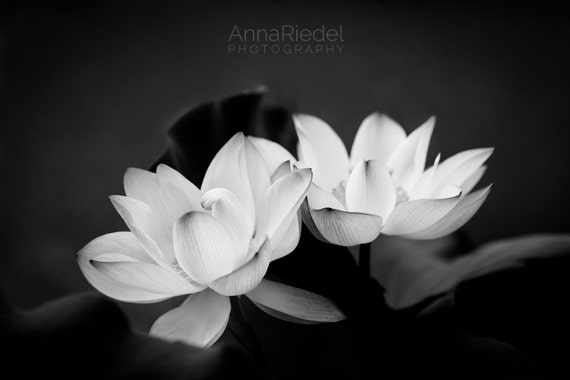 lotus flowers black and white photograph fine art nature photography print modern zen wall