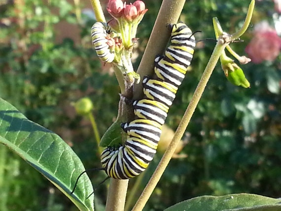 monarch butterflies coevolution with milkweed essay Essay, term paper research paper on nutrition nutrition essays / monarch butterflies coevolution with milkweed monarch butterflies.