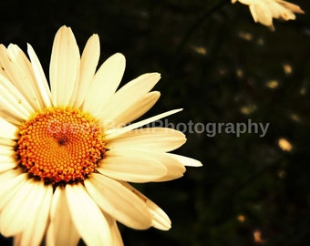 daisy. summer photography