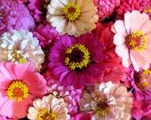 400 - Bulk Zinnia Seeds - Pink & Purple Mix - Heirloom Zinnia Seeds, Non-gmo Zinnias, Heirloom Flower Seeds, Bulk Flower Seeds, Annual Seeds