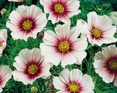 50 - Heirloom Cosmos Seeds - Daydream - Heirloom Flower Seeds, White Cosmos Seeds, Non-gmo Flower Seeds, Annual Flower Seeds, Non-gmo Seeds