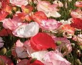 75 - Poppy Seeds - Double Shirley - Heirloom Poppy Seeds, Non-GMO Poppy Seeds, Heirloom Wildflower Seeds, Heirloom Poppies, Non-gmo Poppies