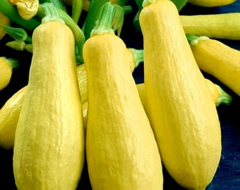 35 - Heirloom Summer Squash Seeds - Early Prolific Straightneck - Heirloom Straightneck Squash, Heirloom Yellow Squash, Yellow Straightneck