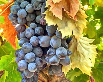 Wine Grape Cluster on the Vine Photo Image Unframed