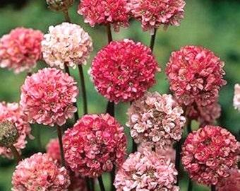 Armeria Maritima Joystick-Lilac Shades,Large Clusters Of Lilac Flower- Perennial