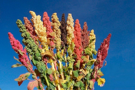 Quinoa plant Seeds - Chenopodium quinoa - Brightest Brilliant Rainbow - Hot pink to royal burgundy, red, orange, yellow, white, green,